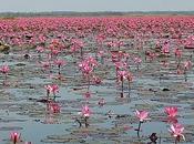 janvier 2012. lotus roses Kumphawapi