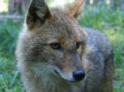 Chacal doré (Canis aureus) bientôt France?