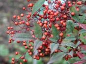 Nandina, spectacle continue