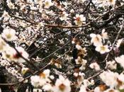 Hanami Aller voir fleurs