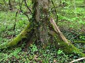 Ulmus laevis (Orme blanc, Orme diffus, lisse)