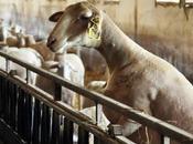 genèse roquefort Société collecte lait fabrication... C'est Pascale vous raconte...
