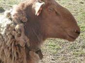 mouton Ardennais roux