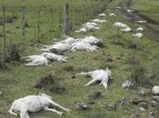 Gel: 30.000 moutons morts