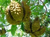 L'huile végétale Yangu