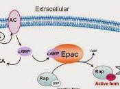 Protéine EPAC, sensibilité l'AMP cyclique homéostasie l'énergie