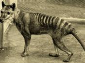 Tigre Tasmanie aurait Survécu