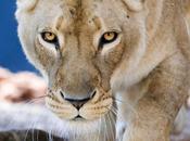 baiser lionne