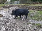 petit cochon noir retrouvé...