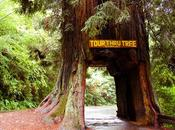 Arbres Tunnels Californie