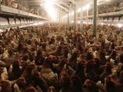 voyous poulet industriel, Tricatel Beulin