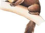 L'écureuil gris, régulé populations martres pins