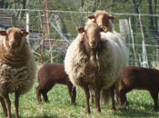 production ovine Wallonie