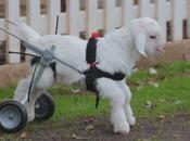 chaise roulante pour chevreau paraplégique