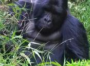 Ouganda gorilles dans brume