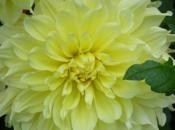dahlia, fleur d'été revient mode