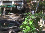 Poule, canard canetons dans jardin Giudecca