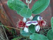 Feijoa fleurs