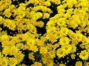 chrysanthèmes petites fleurs arrivent