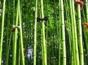 bambou conte...