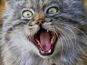 Chat Pallas, chat vous fera mourir rire