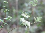 Filipendula ulmaria, encore fleurs, galles