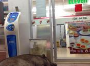 Thaïlande cochons aiment seven eleven (images jour)