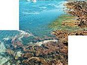 Algues Roscoff