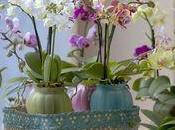 L'Orchidée Phalaenopsis plante mois l'O.H.F.