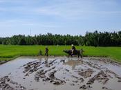 Repiquage riz, expérience interactive