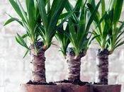 Yucca, plante oubliée