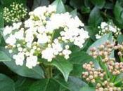 arbuste fleuri hiver: laurier-tin