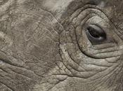 massacre rhinocéros prend proportions alarmantes
