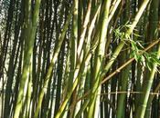 Comment limiter prolifération rhizomes bambous