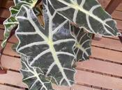 Famille plante aracea