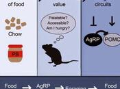 #Cell #noyauarqué #faim #satiété #signalisation #neurones #AgRP #POMC Détection sensorielle nourriture module circuits signalisation l'alimentation noyau arqué