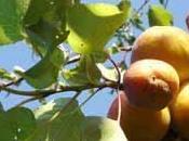 L'abricotier arbre fruitier adapté toutes régions