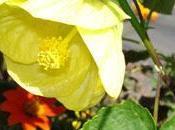L'abutilon cultivée sous climats comme plante d'intérieur