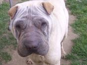 Houcoeur Shar-Peï 1an1/2 l'adoption chez chiens galgos