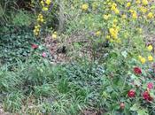 Chaenomeles, l'oeuvre d'un merle jardinier