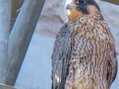 faucons pèlerins retour dans Beffroi Mons 2015