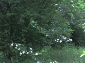 Pedicellata, aubépine venue d'ailleurs