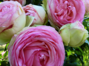 roses Pierre Ronsard, bonne tenue vase
