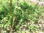 Lycium chinense