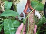 SUPERBE nepenthes Boschiana