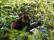 {zoo sables} pandas roux.