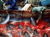 chasse dauphins Taiji Japon