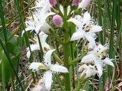 Fleurs Alpes: trèfle d´eau (Menyanthes trifiolata)- Fieberklee