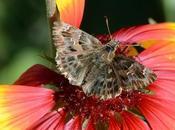 hespéries ressemblent papillons nuit...