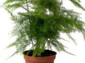 plante disparue, l'Asparagus Plumosus